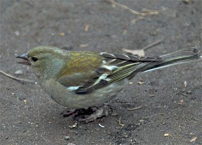 Зяблик :: Юный натуралист-орнитолог