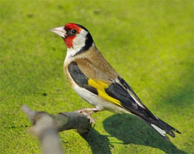 Щегол :: Юный натуралист-орнитолог