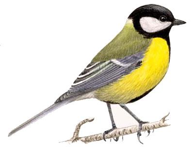Синица большая :: Юный натуралист ...: allforchildren.ru/birds/bird25.php