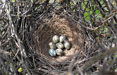 Гнездо сороки обыкновенной