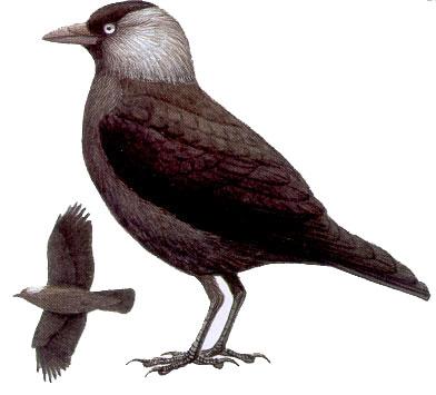 Любопытная, галка, птица, небо, голубое, ветка, оперение, черная, bird, jackdaw