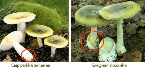 как отличить поганку от съедобного гриба с фото