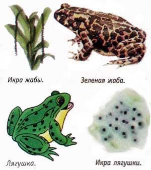 Чем лягушка отличается от жабы? :: Сто тысяч