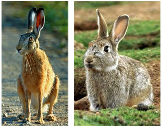 Внешний вид зайца и кролика
