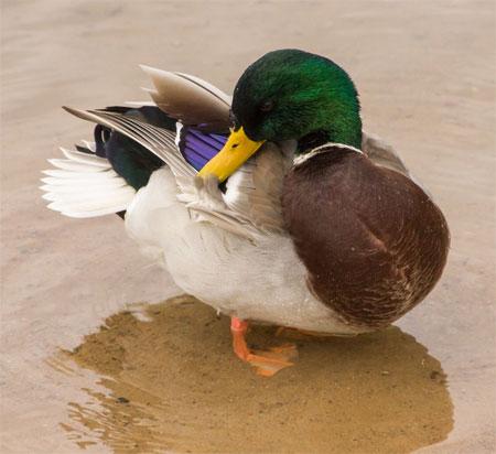 Утка разглаживает перья
