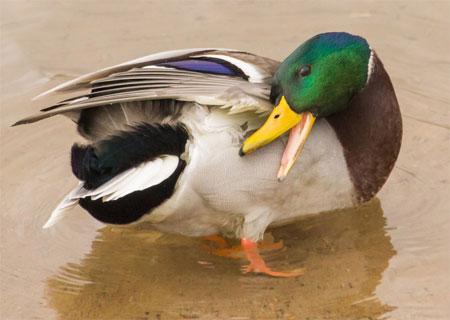 Утка смазывает перья серктом копчиковой железы