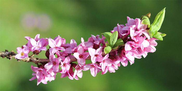 Цветы вольчего лыка