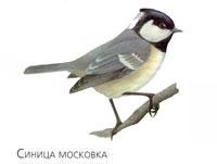Синица-московка