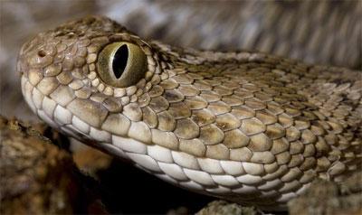 Скачать глаза змеи торрент