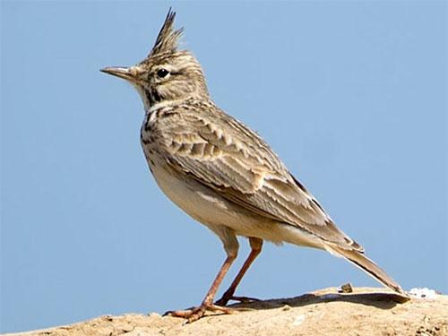 Юному орнитологу: хохлатый жаворонок